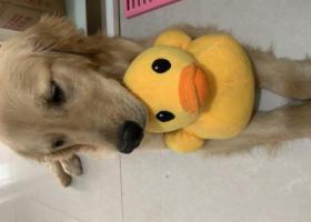 寻狗启示,胜利街附近捡到金毛狗狗一只!,它是一只非常可爱的宠物狗狗,希望它早日回家,不要变成流浪狗。