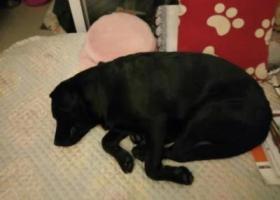 寻狗启示,槐树店附近捡到一条黑色拉布拉多,它是一只非常可爱的宠物狗狗,希望它早日回家,不要变成流浪狗。