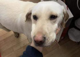寻狗启示,广埠屯捡到的一只拉布拉多~母的,它是一只非常可爱的宠物狗狗,希望它早日回家,不要变成流浪狗。
