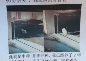 寻狗启示,滨州 急寻本人白色银狐母犬,它是一只非常可爱的宠物狗狗,希望它早日回家,不要变成流浪狗。