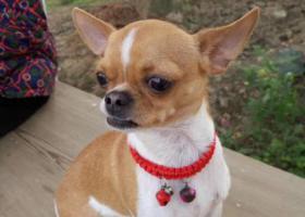 寻狗启示,3000酬金找寻黄白色吉娃娃六六,它是一只非常可爱的宠物狗狗,希望它早日回家,不要变成流浪狗。