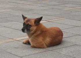 寻狗启示,萝岗区科汇金谷走失的黄色小土狗串串寻主人,它是一只非常可爱的宠物狗狗,希望它早日回家,不要变成流浪狗。