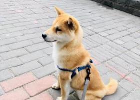 寻狗启示,5000寻找五个月大柴犬宝宝周浦地区,它是一只非常可爱的宠物狗狗,希望它早日回家,不要变成流浪狗。