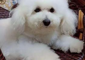 寻狗启示,白色比熊犬,急寻找,宠物主很伤心,谢谢!,它是一只非常可爱的宠物狗狗,希望它早日回家,不要变成流浪狗。