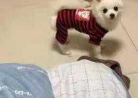 寻狗启示,3.1晚上七点多丢失一条小博美,它是一只非常可爱的宠物狗狗,希望它早日回家,不要变成流浪狗。