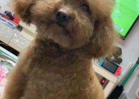 寻狗启示,上海宝山区岭南路共康东路寻找15岁泰迪,它是一只非常可爱的宠物狗狗,希望它早日回家,不要变成流浪狗。