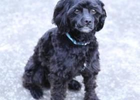 寻狗启示,成都新都大丰寻黑色泰迪,脖子有蓝色项圈。重谢5000,它是一只非常可爱的宠物狗狗,希望它早日回家,不要变成流浪狗。
