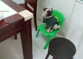 寻狗启示,寻找我们的崽巴哥球球,它是一只非常可爱的宠物狗狗,希望它早日回家,不要变成流浪狗。