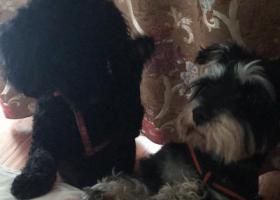 寻狗启示,急寻黑色泰迪-黑格。小黑你在哪里?,它是一只非常可爱的宠物狗狗,希望它早日回家,不要变成流浪狗。