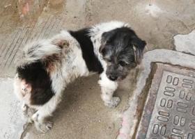 寻狗启示,请狗主人认领此狗狗!!,它是一只非常可爱的宠物狗狗,希望它早日回家,不要变成流浪狗。