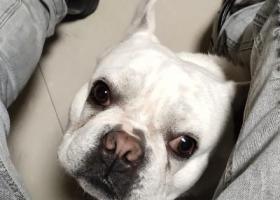 寻狗启示,丢失白色法斗,如有好心人捡到,望联系我,500元感谢。,它是一只非常可爱的宠物狗狗,希望它早日回家,不要变成流浪狗。