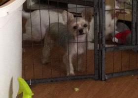 寻狗启示,重金寻狗  一只约克夏,它是一只非常可爱的宠物狗狗,希望它早日回家,不要变成流浪狗。
