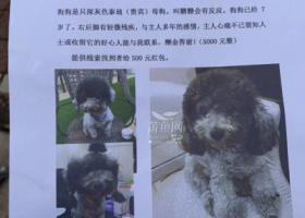 寻狗启示,悬赏5000元寻找丢失的深灰色泰迪(贵宾),它是一只非常可爱的宠物狗狗,希望它早日回家,不要变成流浪狗。