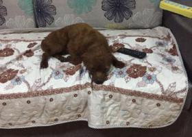 寻狗启示,绵阳涪城区寻狗,它是一只非常可爱的宠物狗狗,希望它早日回家,不要变成流浪狗。
