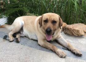 寻狗启示,拉布拉多,眼睛处有一道疤,它是一只非常可爱的宠物狗狗,希望它早日回家,不要变成流浪狗。