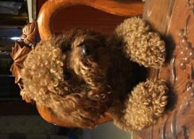 寻狗启示,泰迪弟弟红棕色3岁已找到,它是一只非常可爱的宠物狗狗,希望它早日回家,不要变成流浪狗。