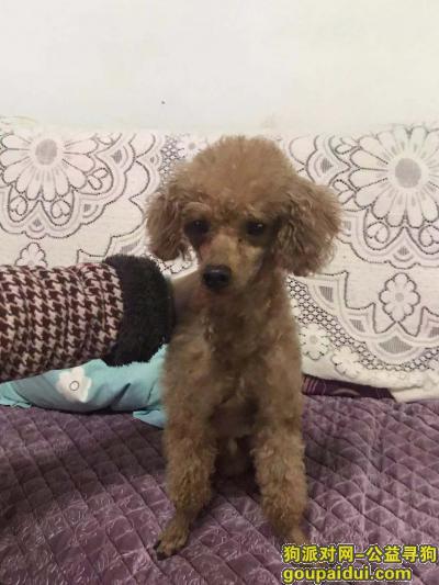 厦门找狗主人,寻主、棕色贵宾。急急急急急急,它是一只非常可爱的宠物狗狗,希望它早日回家,不要变成流浪狗。