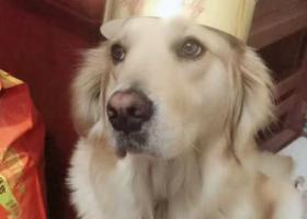 重金寻狗:金毛身长1米,秦皇岛海港区白塔岭美岭小区附近走失。