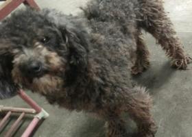 寻狗启示,广东省惠州市博罗县龙溪镇,它是一只非常可爱的宠物狗狗,希望它早日回家,不要变成流浪狗。