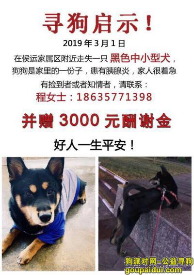 临汾寻狗网,临汾侯运家属区丢失黑色柴犬一只,它是一只非常可爱的宠物狗狗,希望它早日回家,不要变成流浪狗。