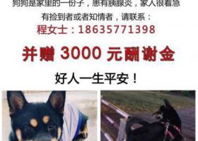 寻狗启示,临汾侯运家属区丢失黑色柴犬一只,它是一只非常可爱的宠物狗狗,希望它早日回家,不要变成流浪狗。