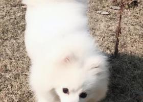 寻狗启示,南京市岱山片区寻找纯白银狐犬,它是一只非常可爱的宠物狗狗,希望它早日回家,不要变成流浪狗。
