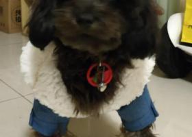寻狗启示,寻杂血黑背黄腹无尾泰迪,它是一只非常可爱的宠物狗狗,希望它早日回家,不要变成流浪狗。