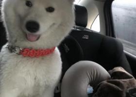 寻狗启示,萨摩耶于2019年3月10日上午在华丰路建华路口跑丢,它是一只非常可爱的宠物狗狗,希望它早日回家,不要变成流浪狗。