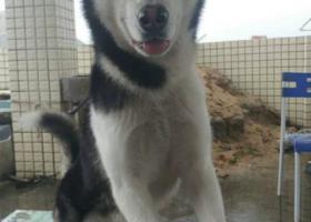 寻狗启示,布吉丽湖附近三联广场捡到一只哈士奇寻原主-,它是一只非常可爱的宠物狗狗,希望它早日回家,不要变成流浪狗。
