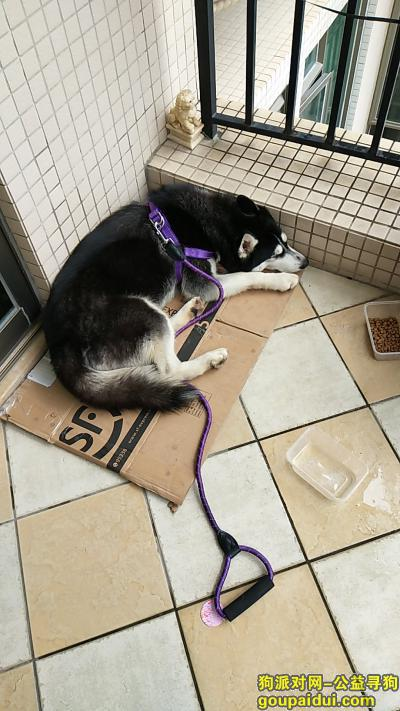 江门捡到狗,黑色哈士奇,捡到的时候脖子有个红色项圈,它是一只非常可爱的宠物狗狗,希望它早日回家,不要变成流浪狗。