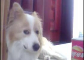 寻狗启示,黄白边牧边境牧羊犬寻找2015年丢失了名字叫妞妞,它是一只非常可爱的宠物狗狗,希望它早日回家,不要变成流浪狗。