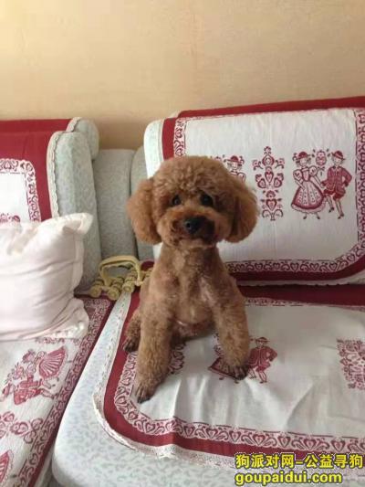 ,寻找六岁棕色贵宾泰迪,它是一只非常可爱的宠物狗狗,希望它早日回家,不要变成流浪狗。