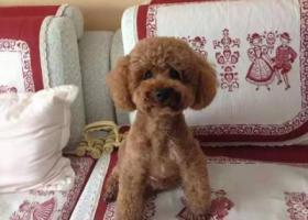 寻狗启示,寻找六岁棕色贵宾泰迪,它是一只非常可爱的宠物狗狗,希望它早日回家,不要变成流浪狗。