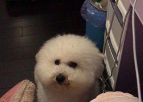寻狗启示,求寻白色比熊犬!!!,它是一只非常可爱的宠物狗狗,希望它早日回家,不要变成流浪狗。