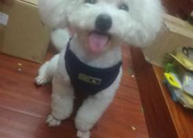 寻狗启示,寻找爱犬比熊,好心人帮忙转发,它是一只非常可爱的宠物狗狗,希望它早日回家,不要变成流浪狗。