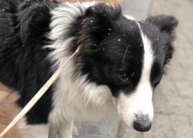 寻狗启示,寻找边牧黑皮 快点回家,它是一只非常可爱的宠物狗狗,希望它早日回家,不要变成流浪狗。
