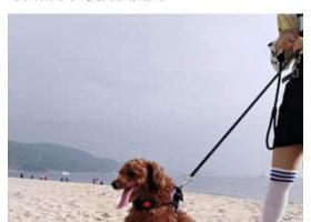 寻狗启示,寻找我家的狗狗贵宾犬,它是一只非常可爱的宠物狗狗,希望它早日回家,不要变成流浪狗。