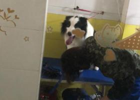 寻狗启示,宝山大华行知路附近捡到的黑白边牧  头顶有块黑块,它是一只非常可爱的宠物狗狗,希望它早日回家,不要变成流浪狗。
