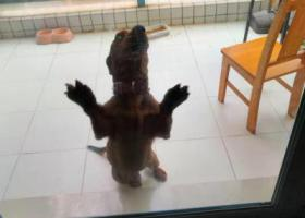 寻狗启示,捡到一只腊肠犬,毛色很纯。,它是一只非常可爱的宠物狗狗,希望它早日回家,不要变成流浪狗。