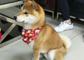 寻狗启示,寻找一只公柴犬的主人,它是一只非常可爱的宠物狗狗,希望它早日回家,不要变成流浪狗。