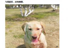 寻狗启示,合肥瑶海区瑶海家园丢失黄色拉布拉多犬一只,它是一只非常可爱的宠物狗狗,希望它早日回家,不要变成流浪狗。