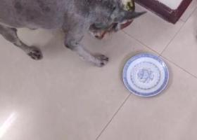 寻狗启示,为狗(雪纳瑞)寻主,狗主一定很着急看到速与我联系,它是一只非常可爱的宠物狗狗,希望它早日回家,不要变成流浪狗。