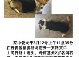 寻狗启示,天津西青区三色柯基走丢,它是一只非常可爱的宠物狗狗,希望它早日回家,不要变成流浪狗。