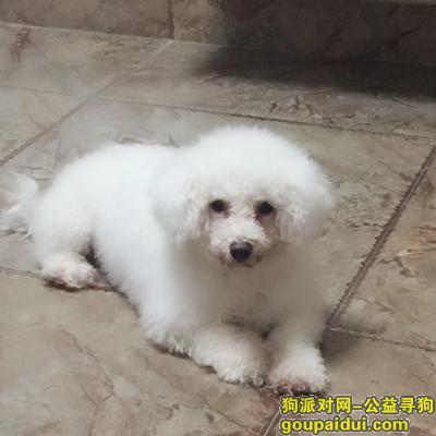 赣州丢狗,寻找三岁比熊,母狗,名叫多多。,它是一只非常可爱的宠物狗狗,希望它早日回家,不要变成流浪狗。