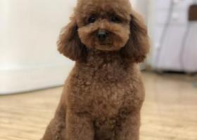 本人于三月八号晚上九号凌晨在北京回龙观天鑫家园丢失棕色泰迪一只