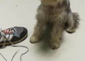 寻狗启示,本人昨日丢失一条小型雪纳瑞,重金寻找,它是一只非常可爱的宠物狗狗,希望它早日回家,不要变成流浪狗。