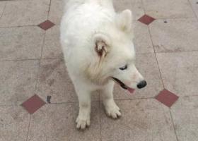 寻狗启示,萨摩(集美TDK附近捡到),它是一只非常可爱的宠物狗狗,希望它早日回家,不要变成流浪狗。
