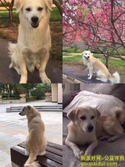 ,青岛市 市南区珠海支路酬谢八千元寻找田园犬,它是一只非常可爱的宠物狗狗,希望它早日回家,不要变成流浪狗。