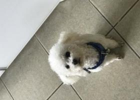 寻狗启示,家庭成员丢失,必有重谢,它是一只非常可爱的宠物狗狗,希望它早日回家,不要变成流浪狗。