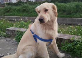 寻狗启示,从化向阳小学附近走丢一条偏白的金毛,它是一只非常可爱的宠物狗狗,希望它早日回家,不要变成流浪狗。